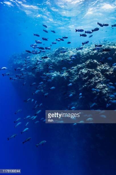 majestic drop off, gran escuela de pargos blancos y negros macolor niger, palau, micronesia - submarino debajo del agua fotografías e imágenes de stock