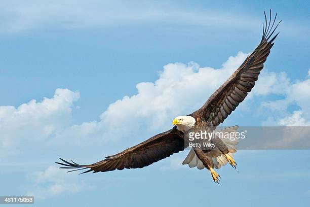 Majestic eagle in flight