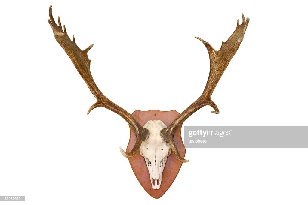 Majestic Fallow Deer Hunting Trophy Isolated Over White Background ...