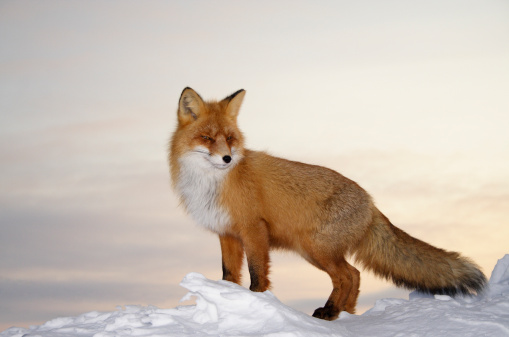 Majestic fox. 157295291