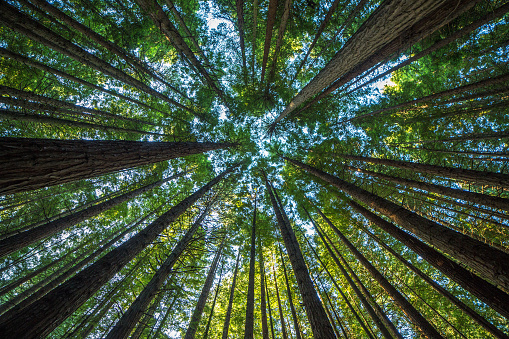 Majestic giant redwood tree scenery 1025158308