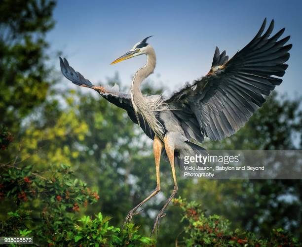 Majestic Great Blue Heron Landing