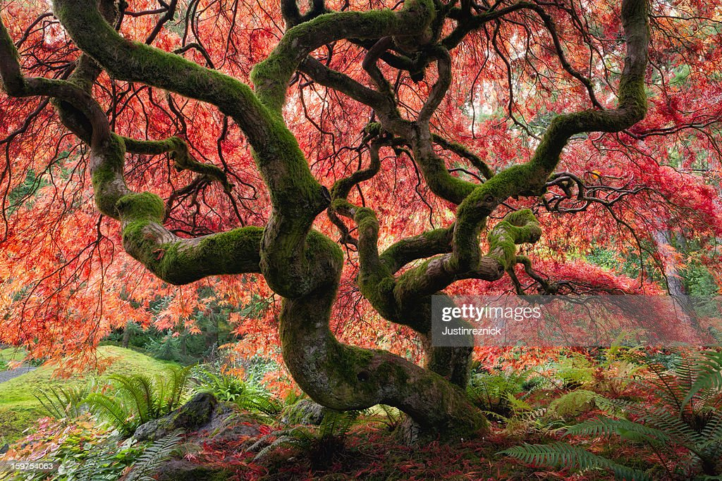 Majestic Japanese Maple with vibrant colors : Stock Photo