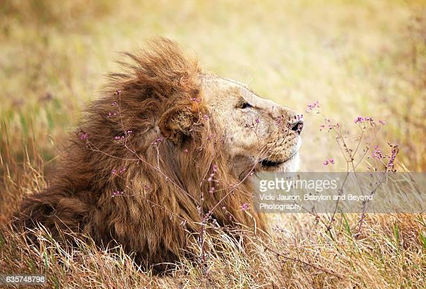 30 Meilleures Lion Profil Photos Et Images Getty Images