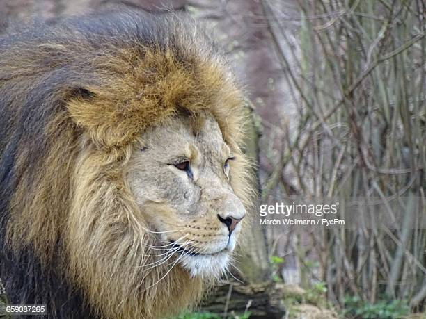 majestic lion against plants - animal whisker stock pictures, royalty-free photos & images