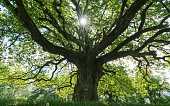 majestic old oak giving shade to a spring meadow with the sun peeking through