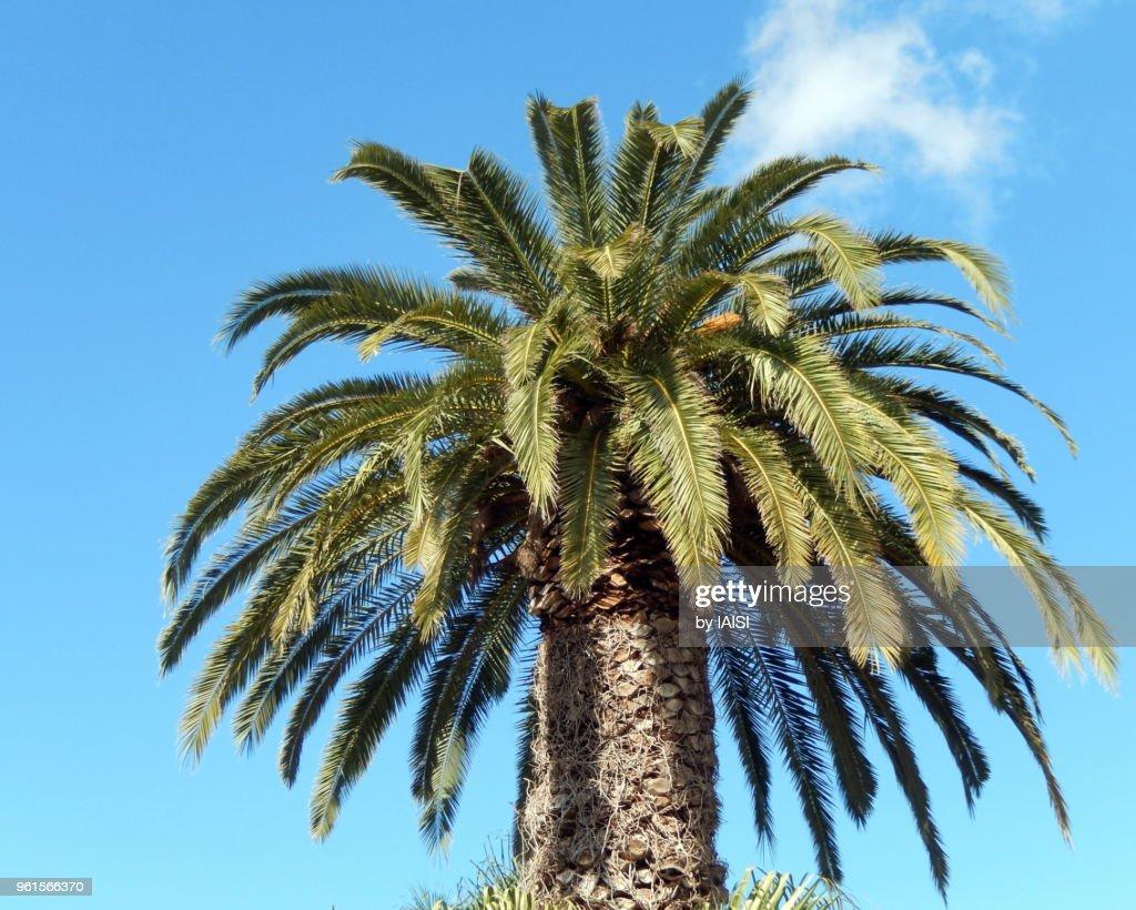 A majestic palm tree against blue sky : Stock Photo