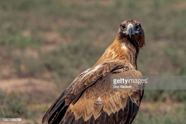 majestic - eagle stock pictures, royalty-free photos & images