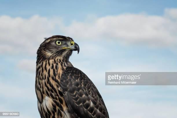 majestic raptor - schnabel stock-fotos und bilder