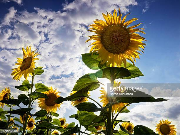 majestic sunflowers - bernd schunack stock photos and pictures