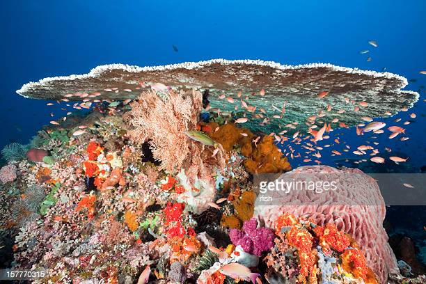 majestic table coral and sea goldies, komodo national park, indonesia - indo pacific ocean stock pictures, royalty-free photos & images
