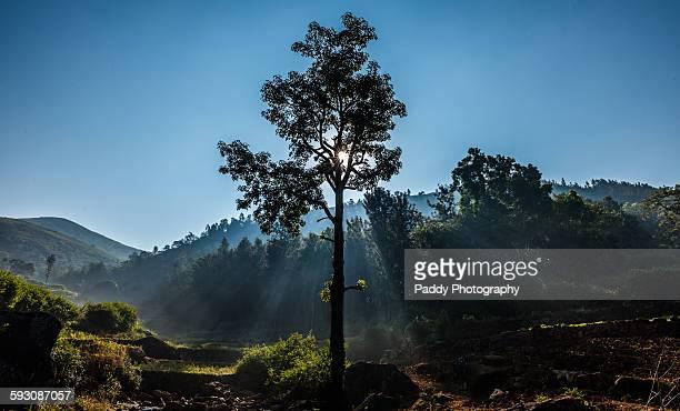 Majestic Tree, Araku Valley