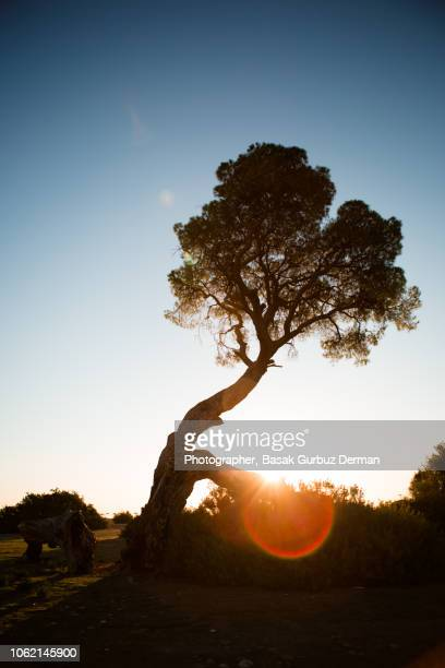 majestic tree in golden hour - basak gurbuz derman stock photos and pictures