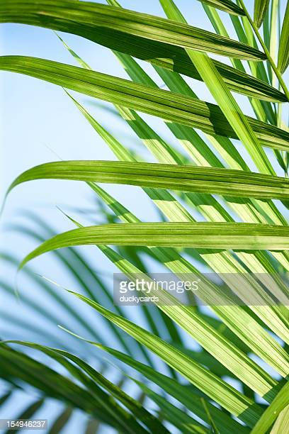 majesty palm and blue sky close-up - palm sunday photos stock pictures, royalty-free photos & images