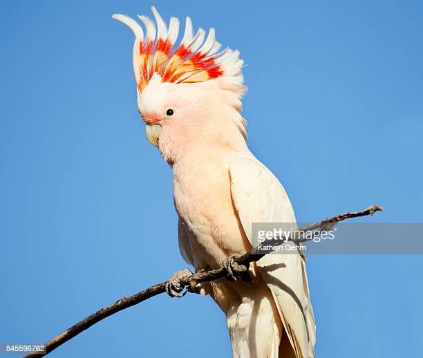 major mitchell cockatoo