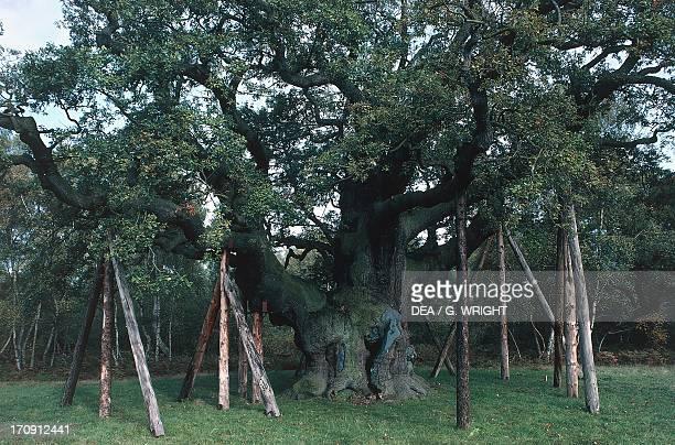 Major Oak centuriesold oak tree Sherwood Forest Nottinghamshire England United Kingdom