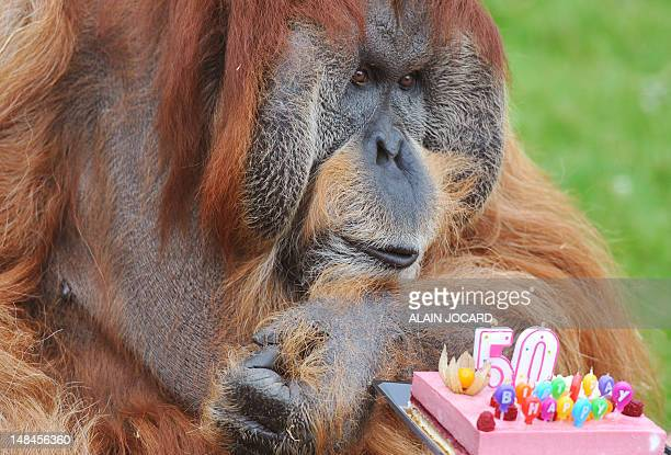 Major, the holdest captive Orang-Outang in the world, blows candles on a cake as part of its 50th birthday ceremony, on July 17 at the La...