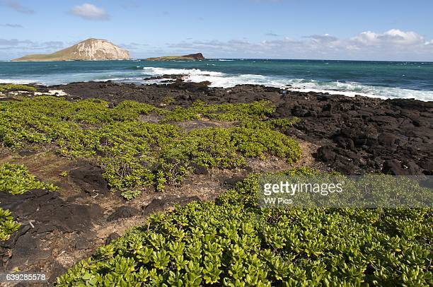 Makapu'u beach at the eastern end of the island The views with Manana Island background are superb so much so that some fashion photographers choose...