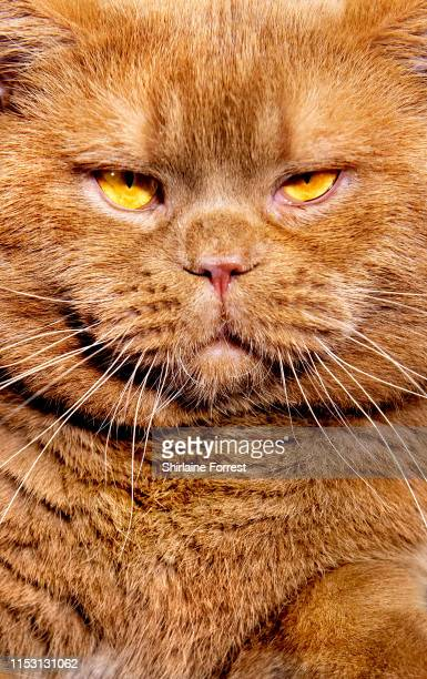 Makdissy Rupert The Bear, a British Shorthair Cat poses for portraits at the Merseyside Cat Show at Sutton Leisure Centre on June 01, 2019 in St...