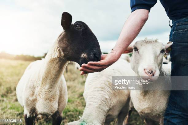 make sure not to eat too much too quick - goat stock pictures, royalty-free photos & images