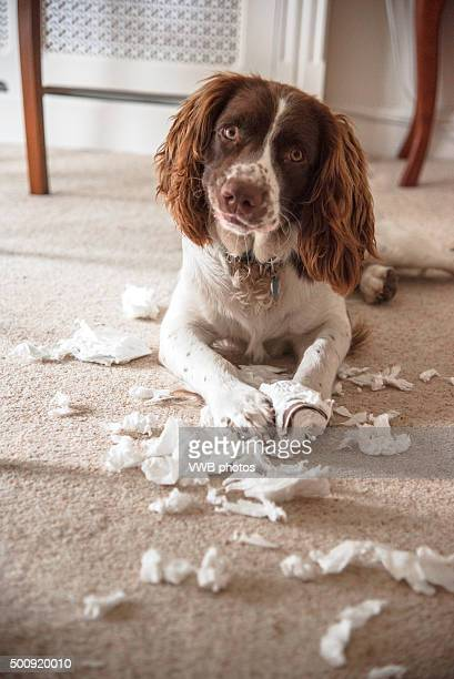 making clouds - springer spaniel stock photos and pictures