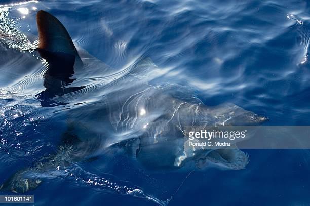 Mako shark in Islamorada Florida