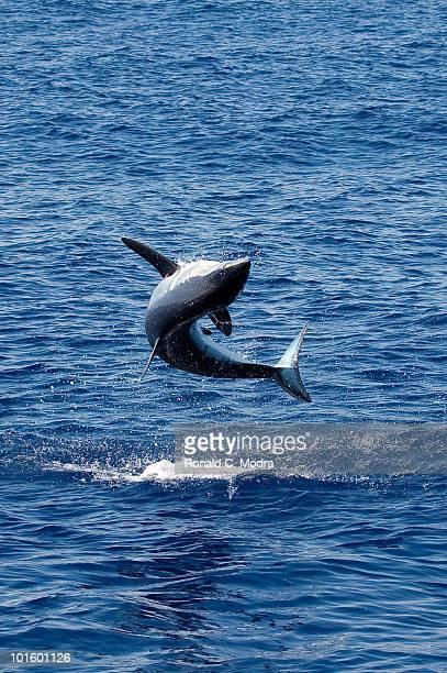 Mako shark jumps out of the water in Islamorada Florida