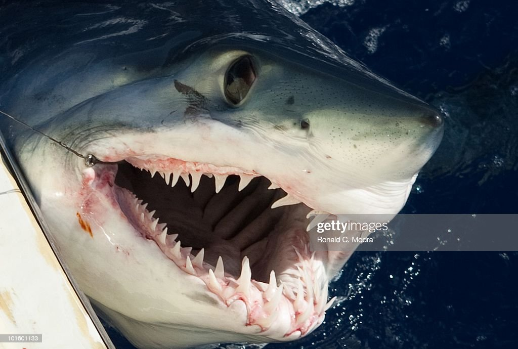 Mako Shark Hook randki z bułgarskimi facetami