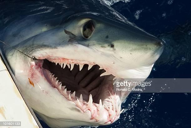 Mako shark on the fishing hook in Islamorada Florida