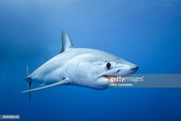Mako shark, South Africa