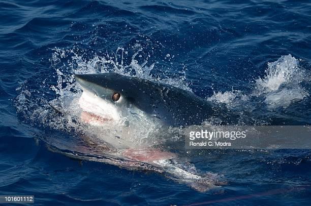Mako shark takes a bite out of a swordfish in Islamorada Florida