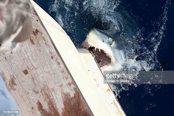 Mako shark tries to take a bite out of a boat in Islamorada Florida