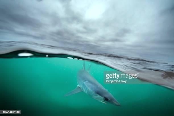 Mako Sharks in Rhode Island, USA