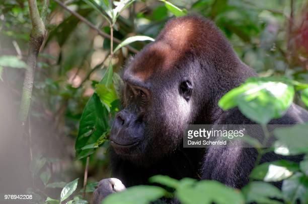 Makumba, Western Lowland Gorilla, Alpha Male