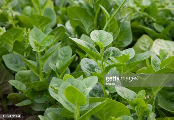 malabar spinach leaves - crop stock pictures, royalty-free photos & images