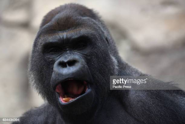 Malabo a 25yearold western lowland gorilla pictured resting in his enclosure at Madrid zoo Malabo the Silverback gorilla at Madrid Zoo was born...