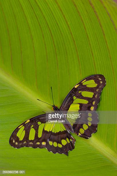 malachite butterfly (siproeta stelenes) on canna lily leaf - malachite stock pictures, royalty-free photos & images