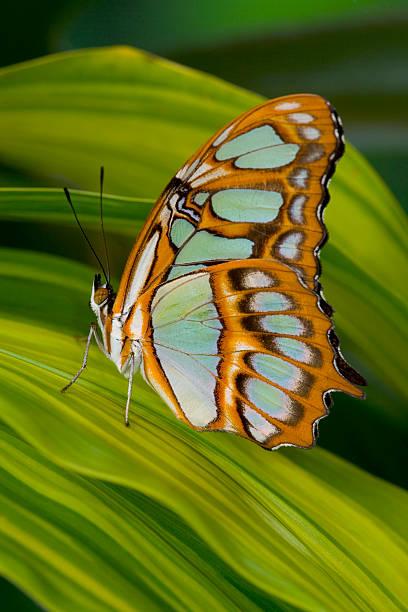 Malachite Butterfly (Siproeta stelenes) on Rhapis Palm Leaves (Rhapis excelsa)