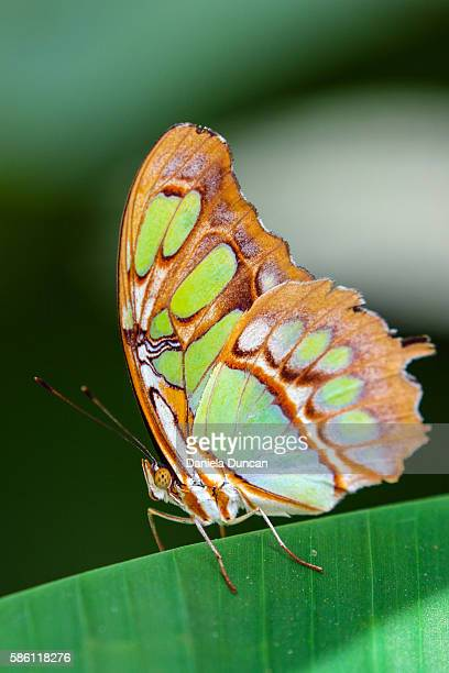 malachite butterfly - malachite stock pictures, royalty-free photos & images