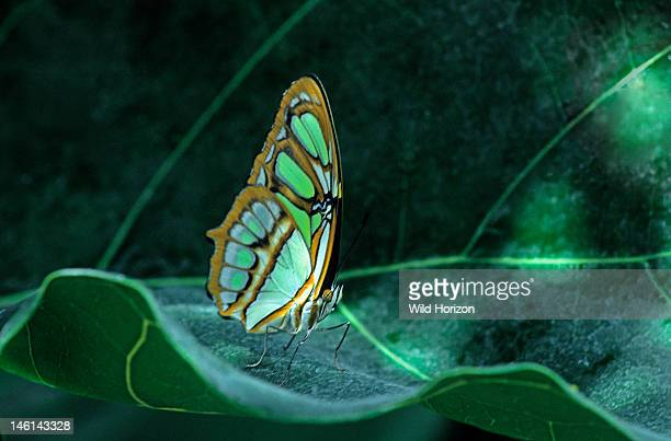Malachite butterfly resting on a tropical leaf in dappled sunlight Metamorpha stelenes Ranges from Florida to the Amazon Basin of South America Wings...