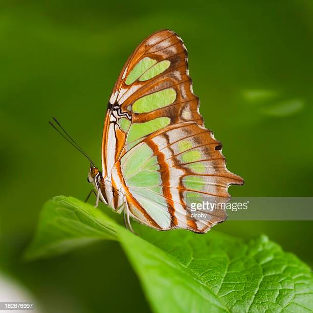malachite butterfly , siproeta stelenes - malachite stock pictures, royalty-free photos & images