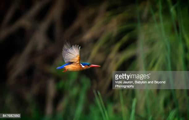 malachite kingfisher at lake naivasha - kingfisher stock pictures, royalty-free photos & images