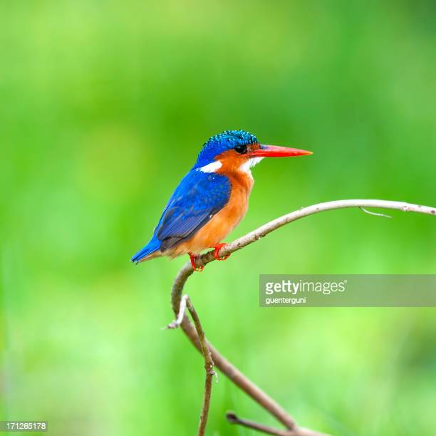 Malachite Kingfisher (Alcedo cristata) sitting in a bush