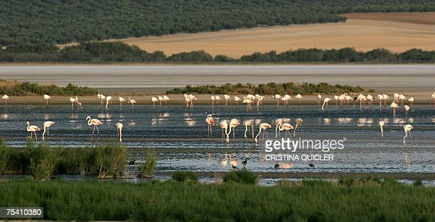 A picture taken 14 July 2007 at the Fuente de Piedra lagoon 70 km from Malaga 14 July 2007 where 600 flamingo chicks have been tagged and analysed to...