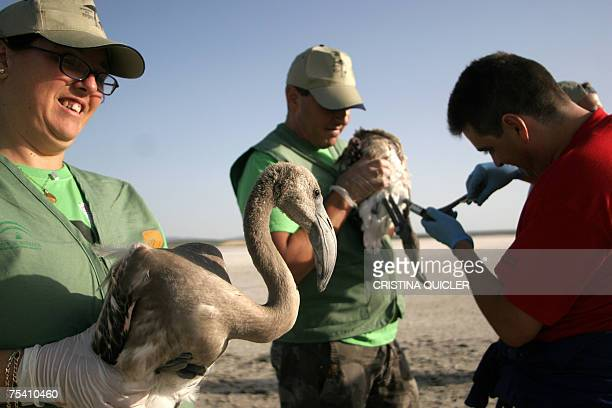 An unidentified volunteer tags a flamingo 14 July 2007 at the Fuente de Piedra lake 70 km from Malaga 14 July 2007 where 600 flamingo chicks have...