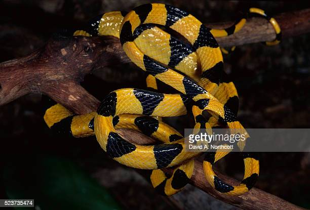 malagasy cat eye tree snake - cat snake stock photos and pictures