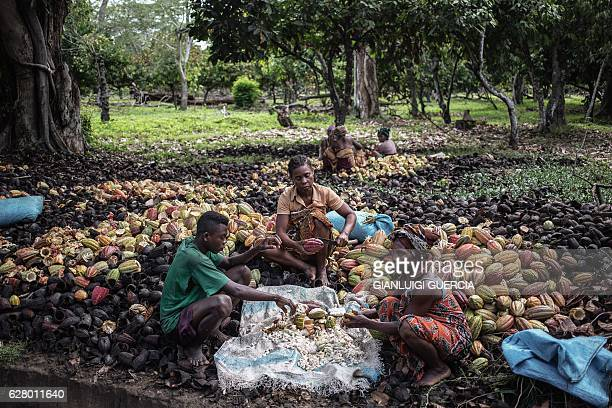 Malagasy workers from the MAVA Cacao plantation shell Cacao plant fruits to collect beans at the plantation farm on November 30 2016 in the...