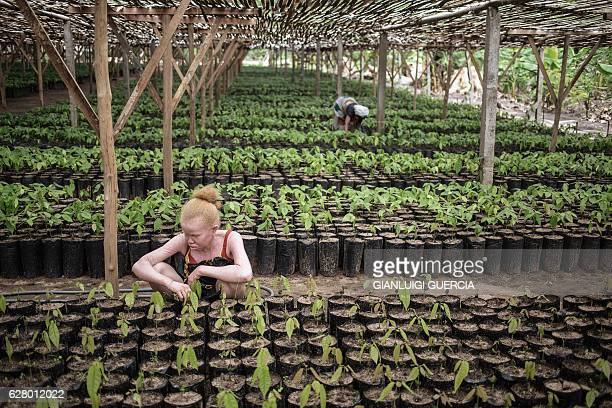 TOPSHOT Malagasy workers from the MAVA Cacao plantations check Cacao plants in the Plantation nursery on November 30 2016 in the Madagascar Cacao...