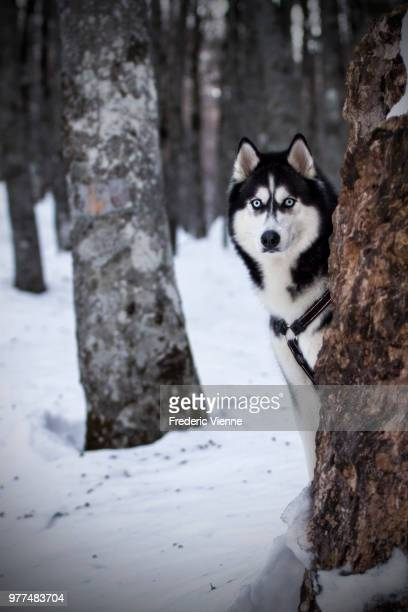 malamute dog peeking form behind tree in winter scenery, gran sasso, italy - gran sasso d'italia foto e immagini stock
