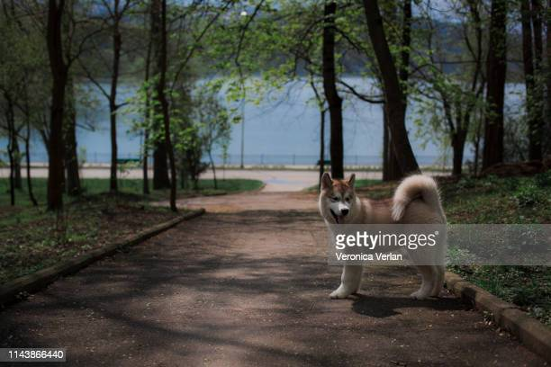 malamute puppy having fun - malamute stock pictures, royalty-free photos & images